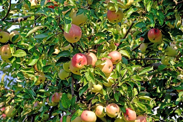 Are You Thinking About Buying an Apple Tree?
